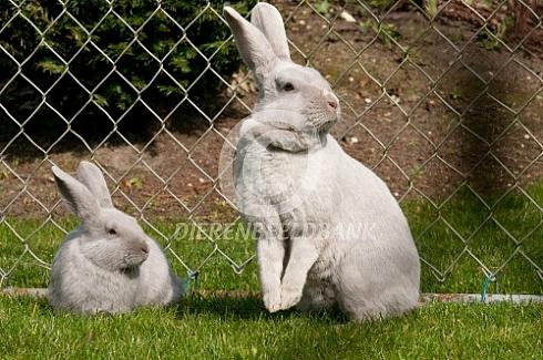 Gouwenaar konijn met jong