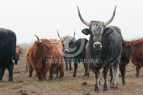 Het Tauros oerrund project Pajuna koe
