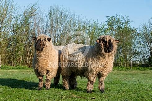 Oxford down schapen