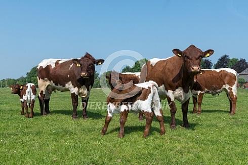Pinzgauer runderen met kalveren