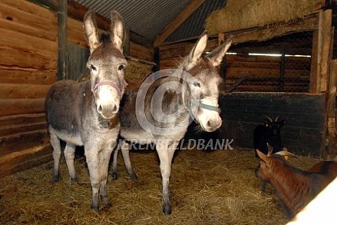 Twee ezels in de stal