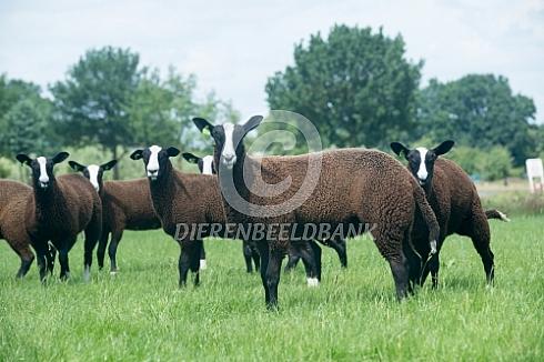 Zwartbles schapen een zeldzaam huisdierras