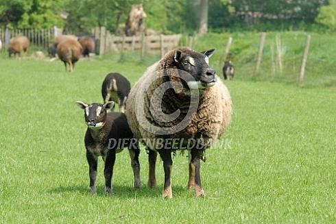 Texelaar (dassenkop) met lam