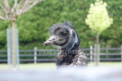 Emoe kijkt over de schutting