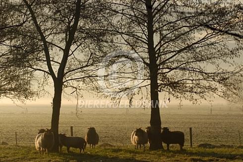 Drentse heideschapen op een mistige ochtend