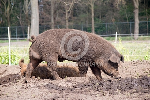 Duroc vleesvarken beer