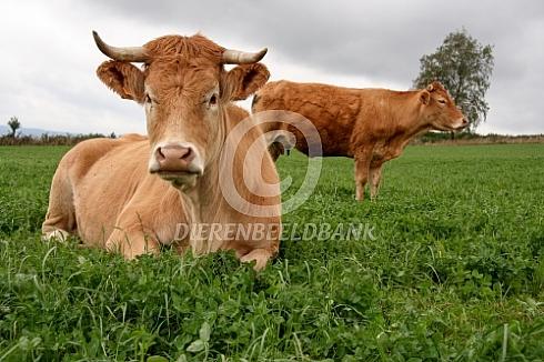 Limousin koe met horens