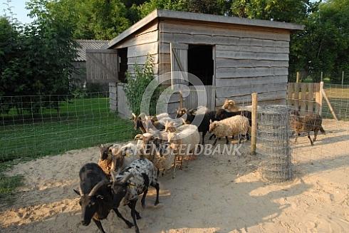 Drentse heideschapen met stal