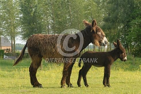 Poitou ezel met veulen