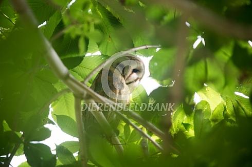 Kerkuil in de kastanjeboom
