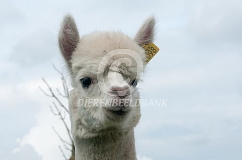 Close up alpaca kop