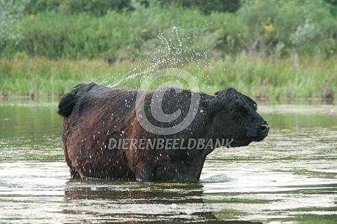 Galloway in het water
