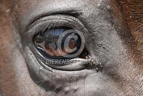 Oog van een paard