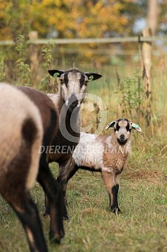 Maasduinenschaap ooi met lam