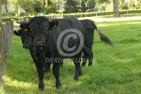 Dexter koeien