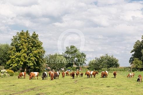 Kudde lakenvelder koeien