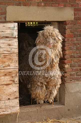 Angora geiten voor de stal
