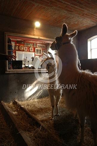 Lama met jong (Lama glama) op stal