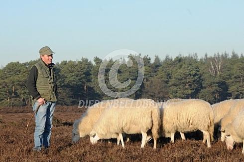 Veluws heideschapen met herder