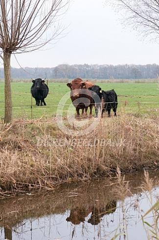 Dexter koeien met stier