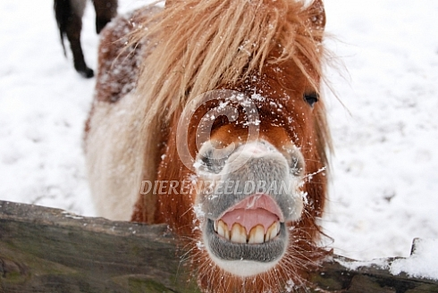 Shetlander pony in de sneeuw