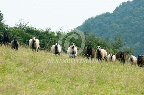 Welsh Mountain schapen