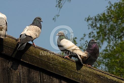 Cauchois duiven