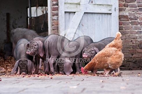 Meishan biggen met kip