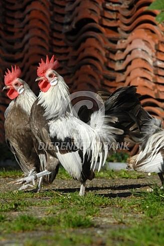 Hollandse kriel, twee hanen