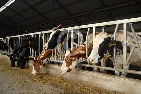 Holstein friesian