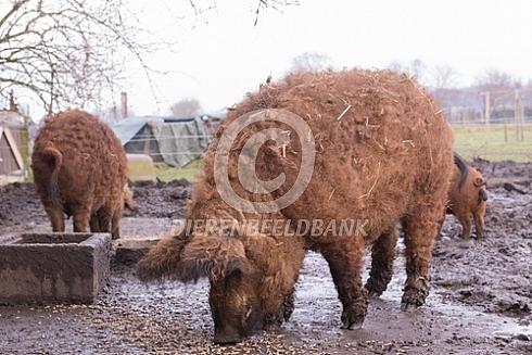 Hongaars wolvarken