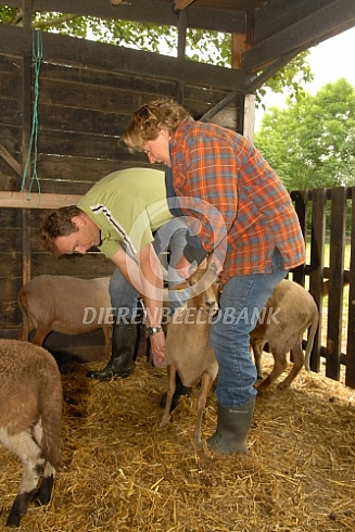 Vaccineren Q-koorts bij schaap