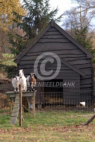 Geiten voor hun stal