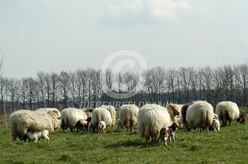 Kudde Drentse heideschapen