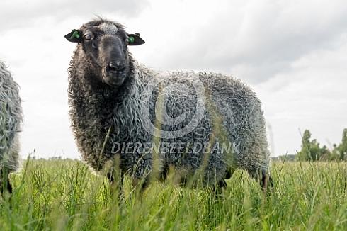 Gotland Pels ram