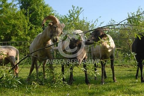 Drentse heideschapen met wilgentakken