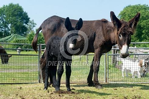 De Poitou ezel met veulen