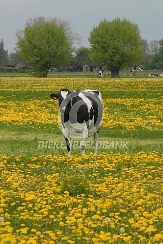 Holstein Friesian koe tussen de paardenbloemen