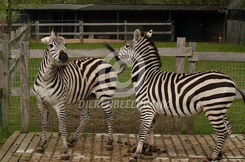 Zebra in de tuin