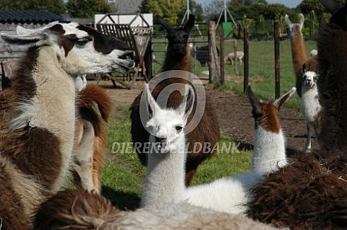 Lama's met jingen (Lama glama)