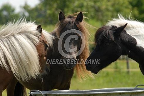 Amerikaanse minipaarden