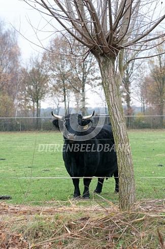 Dexter koe met hoorns
