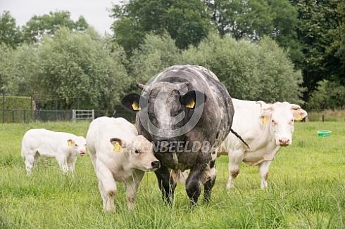 Belgische witblauwe met kalf