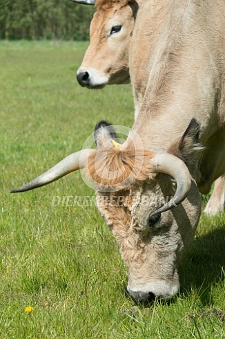 Grazende Marachine koe