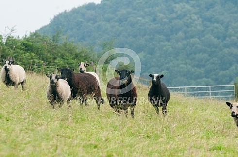 Welsh Mountain schapen