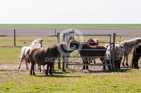 Falabella miniatuur paarden