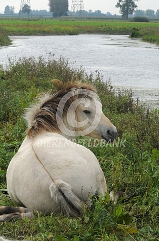 Liggend Fjordenpaard