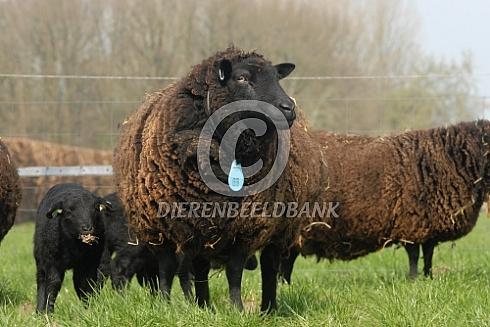 Black Welsh Mountain schapen