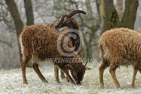 Soay schapen in een winters landschap