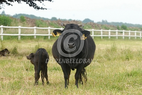 Dahomey koe met kalf